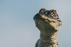 THEMENBILD - ein Baby-Alligator waehrend einer Sumpf-Tour, aufgenommen am 06.08.2019, New Orleans, Vereinigte Staaten von Amerika // a baby alligator during a swamp tour, New Orleans, United States of America on 2019/08/06. EXPA Pictures © 2019, PhotoCredit: EXPA/ Florian Schroetter
