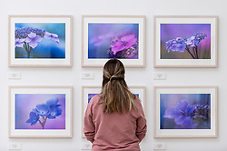 © Licensed to London News Pictures. 17/09/2021. LONDON, UK. A staff member views photographs of hydrangeas by Molly Hollman.  Preview of the RHS Botanical Art & Photography Show 2021 at the Saatchi Gallery.  More than 200 pieces featuring an array of scientifically accurate botanical illustrations by 15 artists and portfolios from 19 photographers are on show September 18 to October 3, 2021 in an event that runs parallel to the RHS Chelsea Flower Show, hosted for the first time in Autumn.  Photo credit: Stephen Chung/LNP