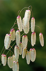 Briza maxima<br /> Greater quaking grass