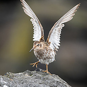 The Purple Sandpiper, Calidris, Arquatella or Erolia maritima is a small shorebird.  These birds forage on rocky coasts, picking up food by sight. They mainly eat insects and mollusks, also some plant material.
