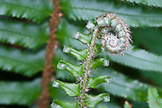 Sword Fern (Polystichum munitum) fiddlehead