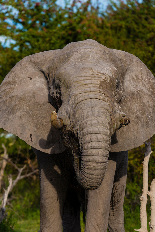 An elephant with one tusk (they often break them digging) after taking a mud bath to cool off, Nxai Pan National Park, Botswana.