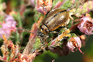 Heather Beetle - Lochmaea sutusalis