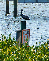 Brown Pelican (Pelecanus occidentalis). Weedon Island Preserve. Pinellas County, Florida. Image taken with a Nikon D700 camera and 200-400 mm f/4 VR lens.