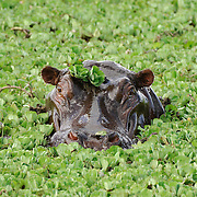 Hippopotamus in Masai Mara National Reserve, Kenya, Africa.