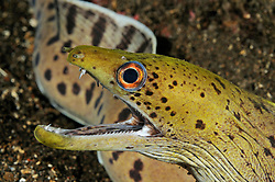 Gymnothorax fimbriatus, Gelbkopfmuraene, spot-face moray, Fimbriated moray, Tulamben, Bali, Indonesien, Indopazifik, Indonesia Asien, Indo-Pacific Ocean, Asia
