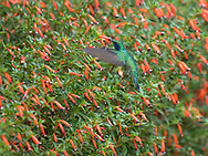 Lesser Violetear (Calibri cyanotus), Savegre Mountain Lodge & Natural Reserve, Costa Rica.