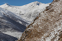 Snow leopard, Panthera uncia, 雪豹属, resting beside its killed blue sheep, also called bharal, in the snow covered mountains of Serxu, Garze Prefecture, Sichuan Province, China