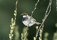 Spanish Sparrow-Male - Passer hispaniolensis