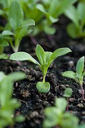 Seedlings of Erysimum cheiri 'Primrose' - wallflowers