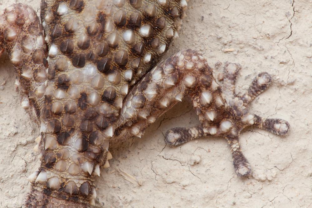 Gecko. Hamakuya, Venda Village, South Africa, September 2009, Organization for Tropical Studies Trip.