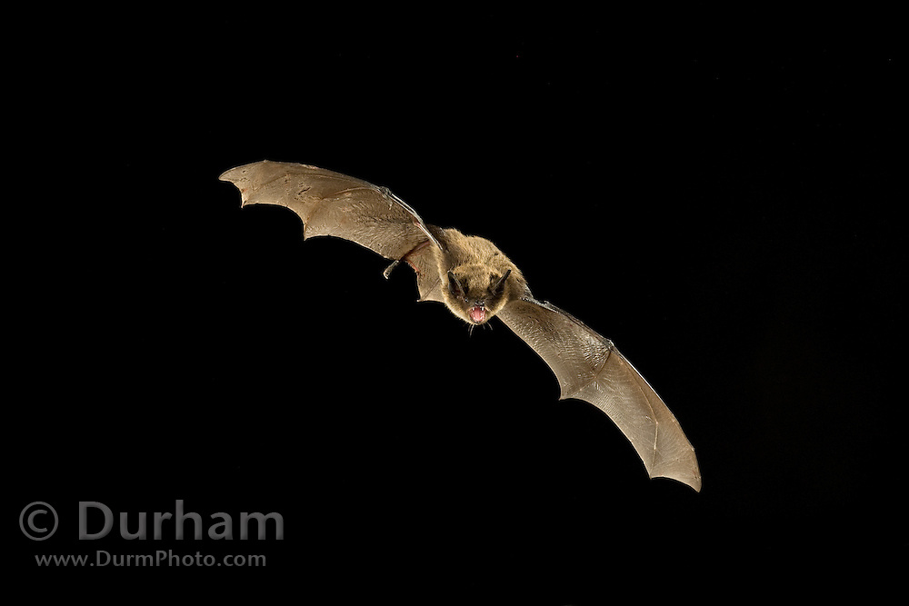 A little brown bat (Myotis lucifugus) flies at night at The Nature Conservancy's Dutch Henry Falls preserve in central Washington.