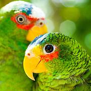Portrait of 2 parrots.