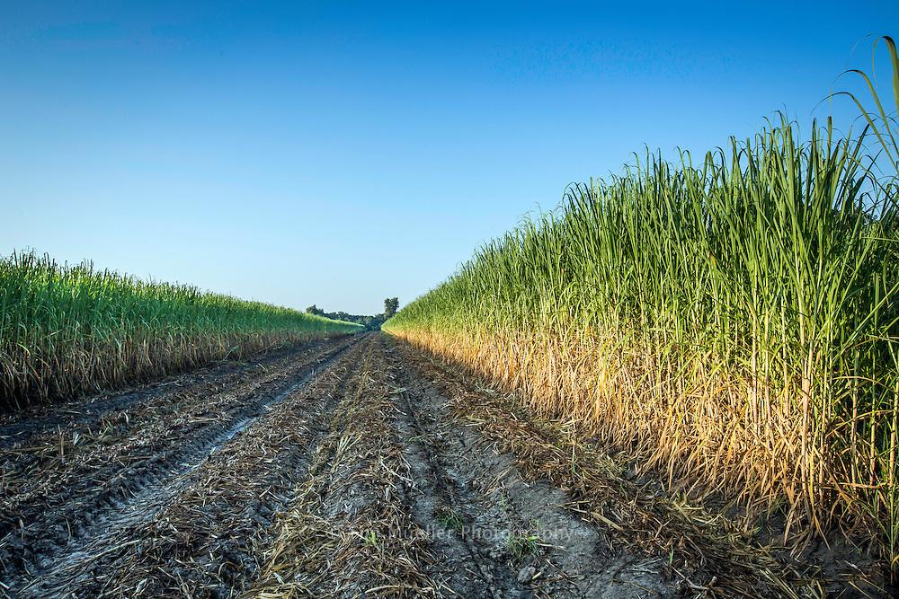 Sugarcane field in West Baton Rouge Parish.