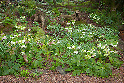Helleborus x hybridus syn. Helleborus orientalis and Primula vulgaris in the woodland garden at Glebe Cottage