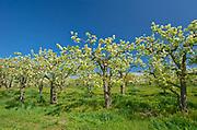 Apple orchard in spring<br />Grimsby<br />Ontario<br />Canada