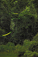 Firefly Trails. Composite of 450 images taken with a Nikon D4 camera and 80-400 mm VRII telephoto zoom lens (ISO 3200, 210 mm, f/8, 30 sec). Composite generated using Photoshop CC (statistics, maximum).