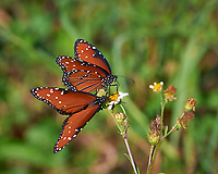 Pair of Queen Butterflies on a Wildflower. Big Cypress Swamp National Preserve in Florida. Image taken with a Nikon D3x camera and 70-200 mm f/2.8 lens (ISO 200, 200 mm, f/5.6, 1/400 sec).