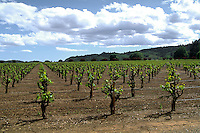 Old vines with new spring growth in Northern California
