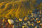Seaweed (kelp) at low tide onshore of teh Atlantic Ocean, Blue Rocks, Nova Scotia, Canada