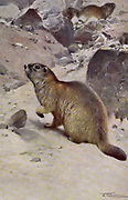 Marmot (Arctomys marmotta) from the book '  Animal portraiture ' by Richard Lydekker, and illustrated by Wilhelm Kuhnert, Published in London by Frederick Warne & Co. in 1912