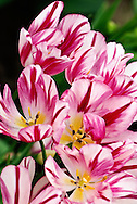Single Late Tulip 'Flaming Club' Keukenhof Spring Tulip Gardens, Lisse, The Netherlands.