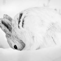 Lepus americanus, northern Alaska