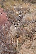 Wide mule deer buck (Odocoileus hemionus) chasing doe in Colorado