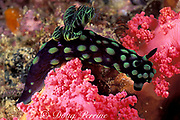 nudibranch or sea slug, <br /> Nembrotha cristata, <br /> Gato Island Marine Reserve, <br /> off Cebu Island, Philippines