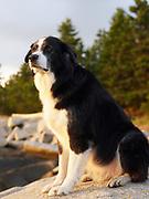 Akbash/Border Collie mix dog sitting on rock