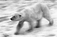 Schweden, SWE, Kolmarden, 2000: Ein Eisbaer (Ursus maritimus) beim schnellen Ueberqueren eines Eisfelds, Kolmardens Djurpark. | Sweden, SWE, Kolmarden, 2000: Polar bear, Ursus maritimus, quickly crossing an icefield, Kolmardens Djurpark. |