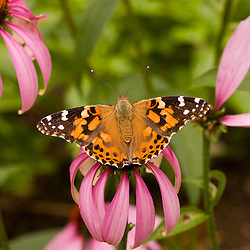 An American Lady butterfly (Vanessa virginiensis) on a flowering purple coneflower (echinacea purpurea) at the Oakland House Seaside Resort in Brooksville, Maine.  Blue Hill Peninsula.  East Penobscot Bay.