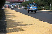 """BINZHOU, CHINA - SEPTEMBER 04: <br /> <br /> Vehicles run past the corn kernels aired on the No. 316 Provincial Highway on September 4, 2016 in Binzhou, Shandong Province of China. Farmers dried corn kernels in the air along the No. 316 Provincial Highway which looked like a \""""golden road\"""" in Binzhou.<br /> ©Exclusivepix Media"""