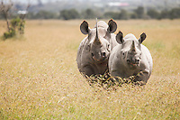 Mother and calf black rhino face off with the photographer at Ol Pejeta Conservancy, Kenya.