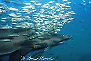 sand tiger shark, Carcharias taurus (formerly Odontaspis/ Eugomophodus ) and schooling fish, wreck of the Papoose, N. Carolina, United States ( Western Atlantic Ocean )