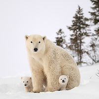 Two cubs-of-the-year staying close to their mother in Wapusk N.P. near Churchill, Manitoba, Canada