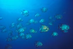 schooling Atlantic spadefish, Chaetodipterus faber, Benwood ship wreck, Key Largo, Florida Keys National Marine Sanctuary, Atlantic Ocean