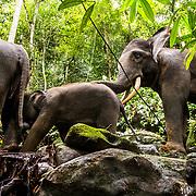Sumatran Elephants, Leuser Ecosystem, Sumatra, Indonesia