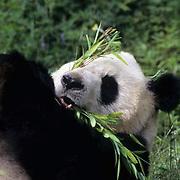 Giant panda (Ailuropoda melanoleuca) eating bamboo.  Wolong Natural Reserve,  Sichuan,  China.  Captive Animal.