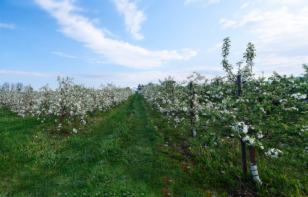 Junius, NY.  Exploring back roads in Western New York, I had overcast for sunrise and not too much attracting my interest until I hit some orchards in bloom out near Junius Ponds. Here the sky was beginning to blue up, and apple blossoms were making a statement.