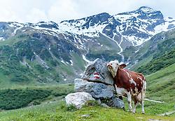 THEMENBILD - eine Kuh reibt sich an einem Stein. Die bewirtschaftete Alm, wo rund 800 Schafe und 55 Milchkühe im Sommer sind, besteht seit dem Jahre 1779 und wird von der Familie Aberger Dick geführt, Sie liegt unmittelbar bei den Kapruner Hochgebirgsstauseen, aufgenommen am 15. Juni 2017, Fürthermoar Alm, Kaprun, Österreich // A cow rubs against a stone. The Fuerthermoar Alm, where around 800 sheep and 55 dairy cows are in summer and is directly next to the Kaprun Hochgebirgsausauseen. The Mountain Hut exists since 1779 and is owned by the family Aberger Dick, taken on 2017/06/15, Kaprun, Austria. EXPA Pictures © 2017, PhotoCredit: EXPA/ JFK
