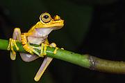 Imbabura Tree Frog (Hypsiboas picturatus)<br /> Mashpi Rainforest Biodiversity Reserve<br /> Pichincha<br /> Ecuador<br /> South America
