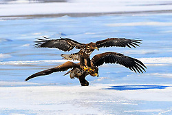 White-tailed eagles fly over the Jingxin Wetland in northeast China's Jilin Province, March 17, 2016. Thanks to years of protection measures such as hunting ban and forest protection, the Jingxin Wetland which covers an area of more than 8000 hectares becomes home to many migrated birds including endangered species. EXPA Pictures © 2016, PhotoCredit: EXPA/ Photoshot/ Lin Hong<br /> <br /> *****ATTENTION - for AUT, SLO, CRO, SRB, BIH, MAZ, SUI only*****