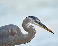 Great Blue Heron (Ardea herodias). Fort De Soto County Park. St. Petersburg, Florida. Image taken with a Nikon D3x camera and 500 mm f/4 VR lens.