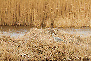 Grey heron in the reed bed next to the lake at Meare Heath, after it had caught what looks like a small pike.