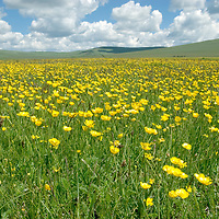 MONGOLIA.  Wildflowers on hillsides north of Muren in Hovsgol district.