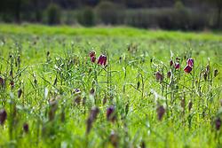 Fritillaries growing wild in Fox Meadow in Suffolk. Fritillaria meleagris