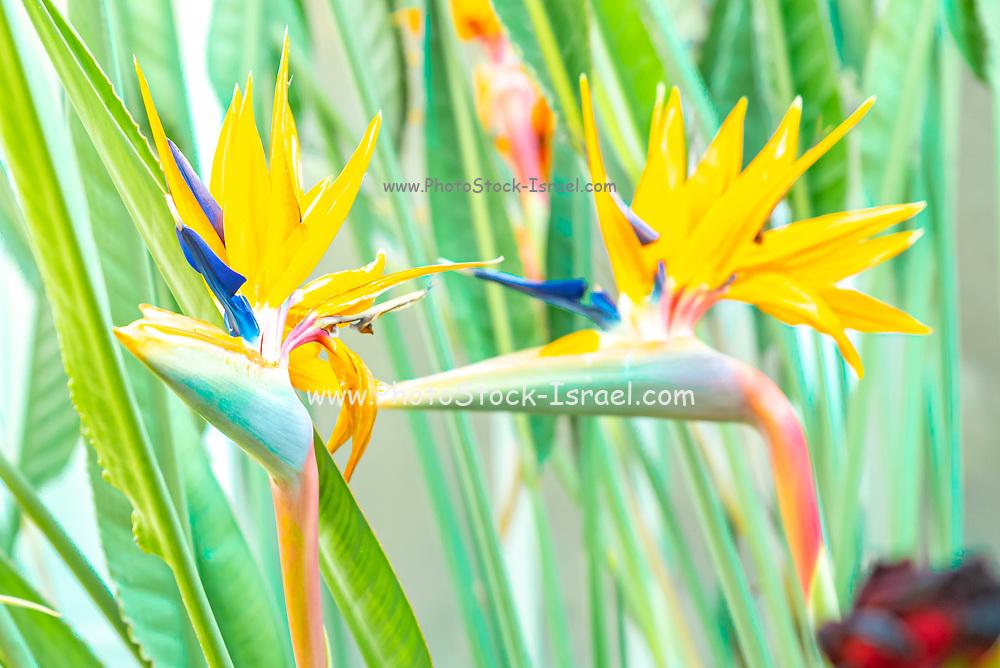 Selective focus arty image of a Bird of Paradise (Strelitzia reginae) flowers