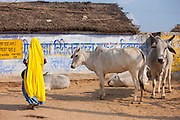 Indian woman collecting cow dung from herd of cattle to use for fuel at Jhupidiya Village in Sawai Madhopur, Rajasthan, India