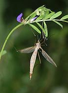 Daddy Long Legs - Tipula paludosa